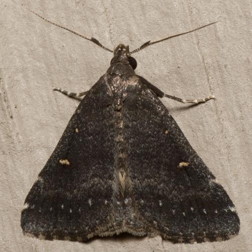 Smoky Tetanolita Moth - Hodges #8366 - Tetanolita mynesalis - male
