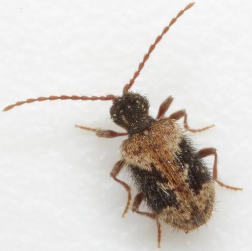 Ptinus texanus Pic - Ptinus texanus