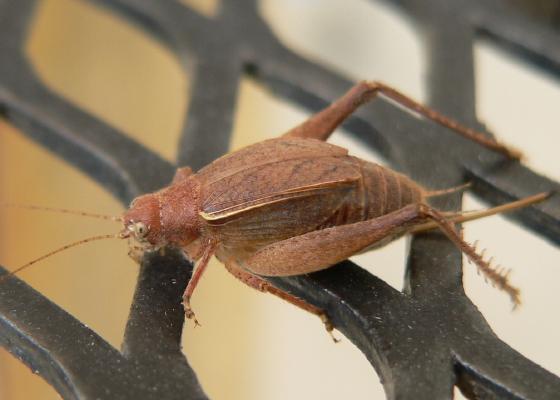 Restless Bush Cricket - Hapithus agitator - female
