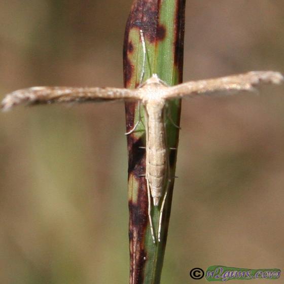 Plume Moth - Lioptilodes albistriolatus