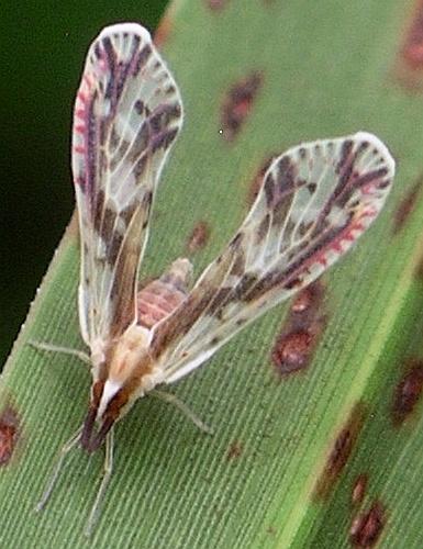 derbid with dark stripes over eyes - Anotia fitchi
