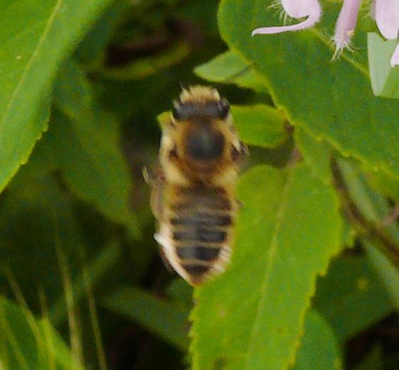 Megachilidae - Megachile