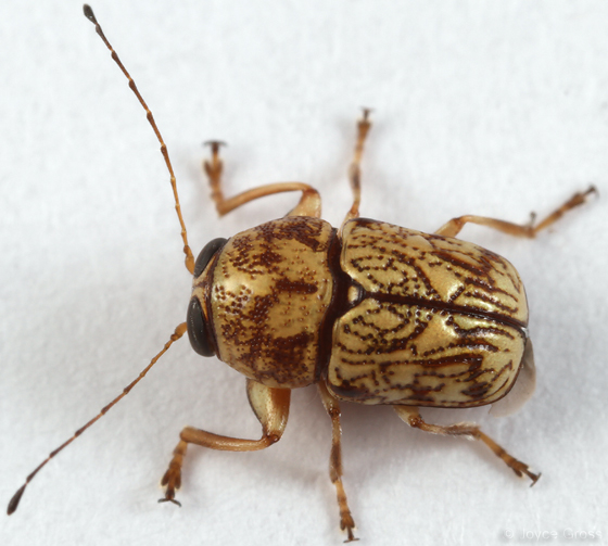 small leaf beetle - Pachybrachis chaoticus