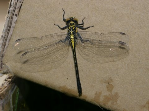 Rapids Clubtail (Gomphus quadricolor) ? - Lanthus vernalis