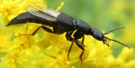 beetle 2 - Philonthus