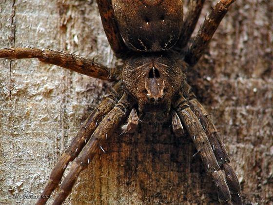 Spider ID? - Dolomedes vittatus