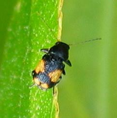 Leaf Beetle - Pachybrachis dilatatus