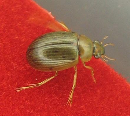 Berosus sp., family Hydrophilidae - Berosus