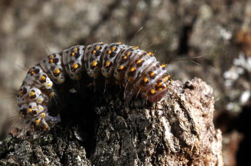 Caterpillar  - Polygrammate hebraeicum