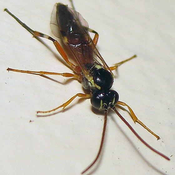Hover fly parasite - Diplazon laetatorius - female