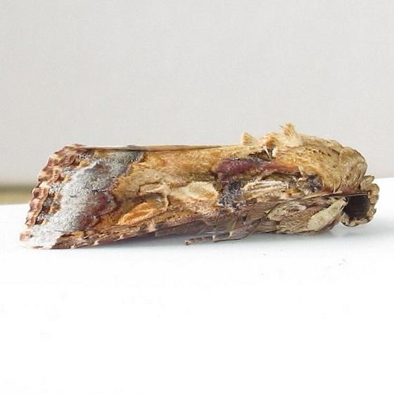Hodges #9670 - Velvet Armyworm Moth - Spodoptera latifascia