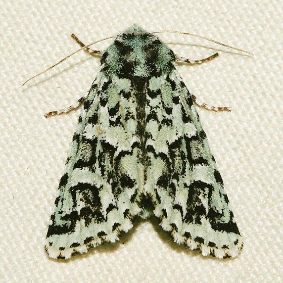 Comstock's Sallow - Feralia comstocki - female
