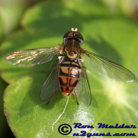 Toxomerus marginatus - male - female