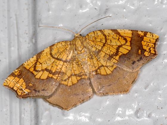 geometrid moth - Nematocampa resistaria