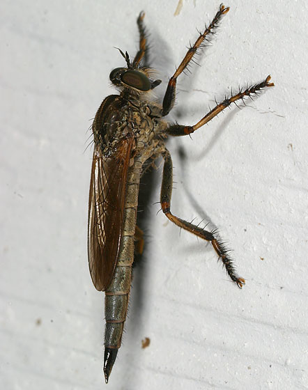 Robber fly 1788 - Machimus paropus - female