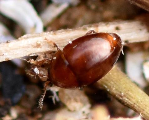 Beetle - Rypobius marinus