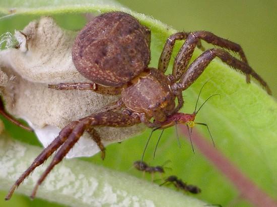 crab spider - Xysticus - female