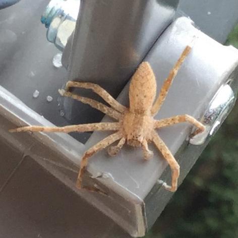 Spider ID? - Pisaurina mira