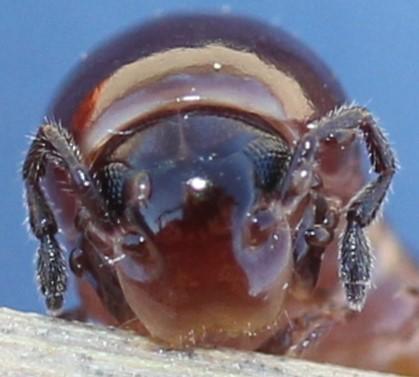 Parajulidae - Aniulus garius