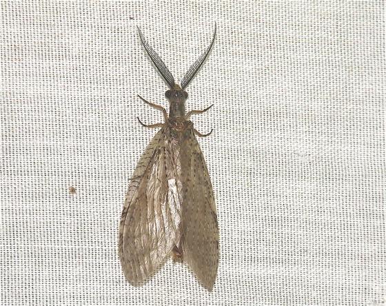 Fishfly? - Chauliodes pectinicornis