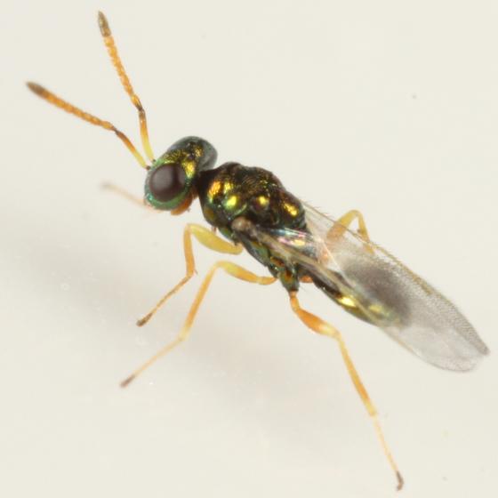 Chalcid parasitoid of Phytomyza plantaginis - Halticoptera - male