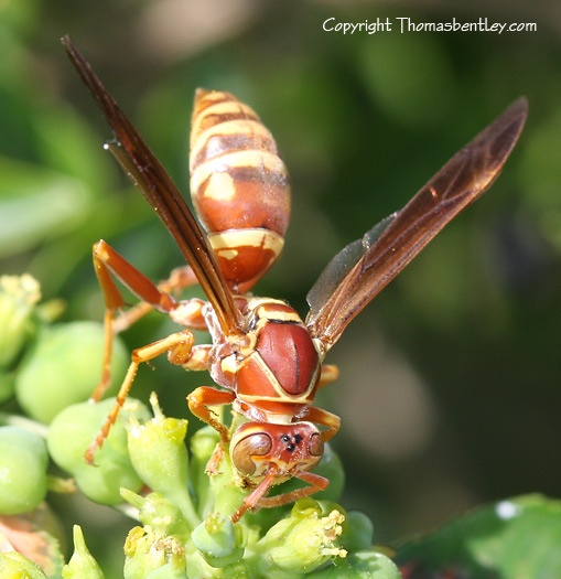 Paper Wasp - Polistes - female
