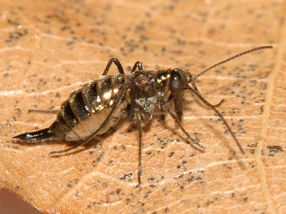 Snow Scorpionfly - Boreus brumalis - female