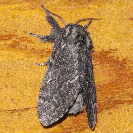 Unidentified Moth-20150717-B - Notodonta torva