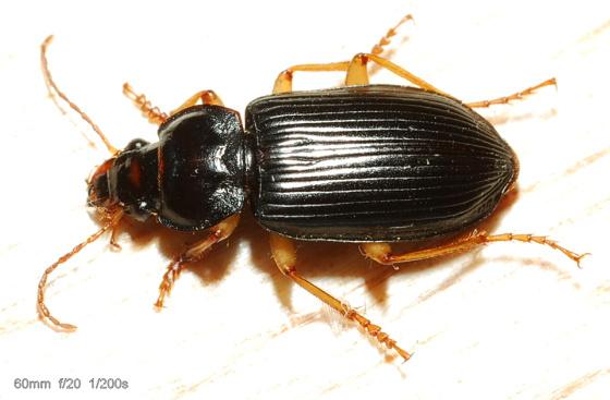 Harpalus protractus - Anisodactylus verticalis - male