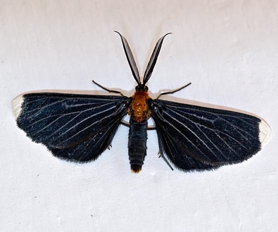 White Tipped Black - Melanchroia chephise