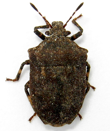 turtle bug? - Amaurochrous cinctipes