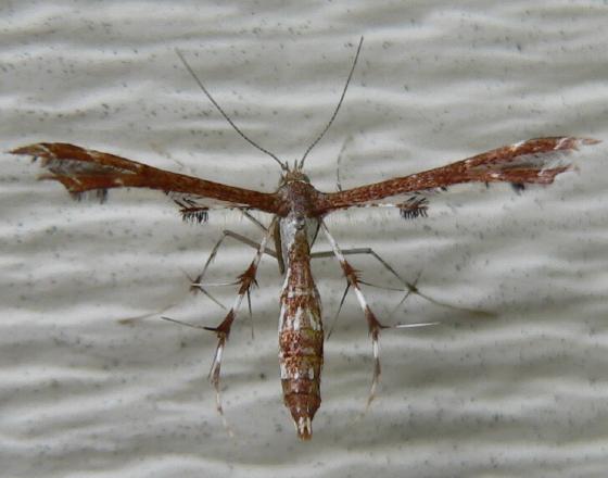 Plume moth - Geina