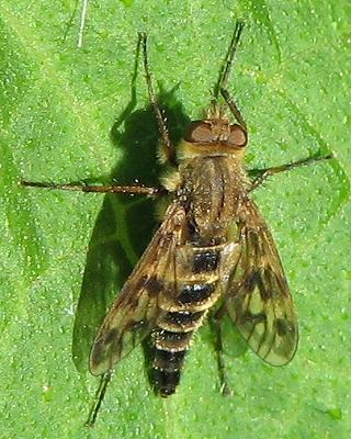 Stiletto Fly - Thereva comata? - Thereva