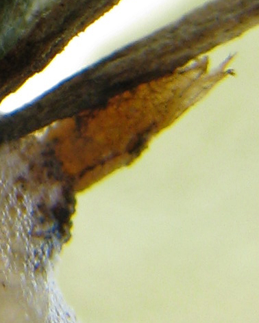 More images of possible pupa associated with spittlebugs - Cladochaeta sturtevanti