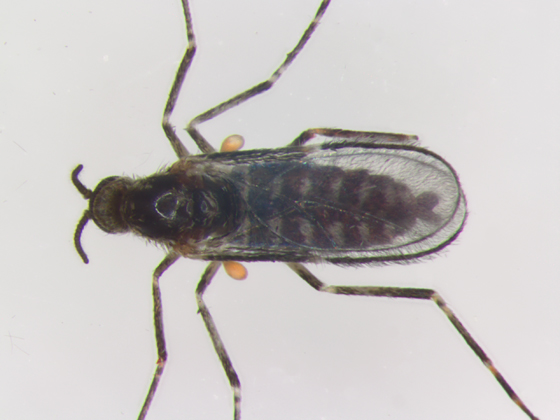 Cecidomyiidae, dorsal - Neolasioptera allioniae - male