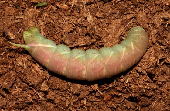 Sphingidae, pre-pupa - Ceratomia undulosa