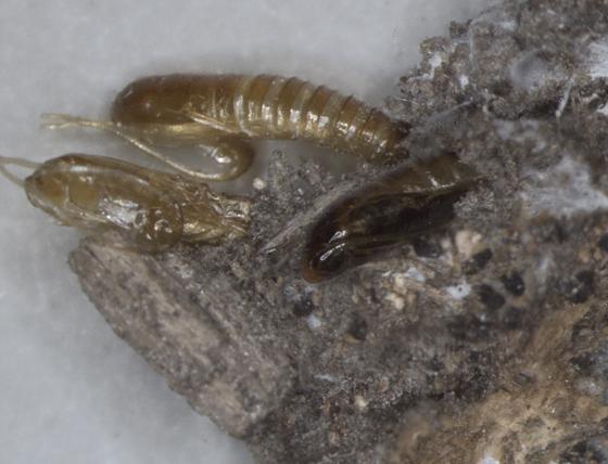 Tineidae, mass emergence from Bolete