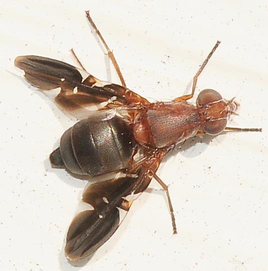 Ulidiidae - Picture-winged Flies Delphinia picta - Delphinia picta