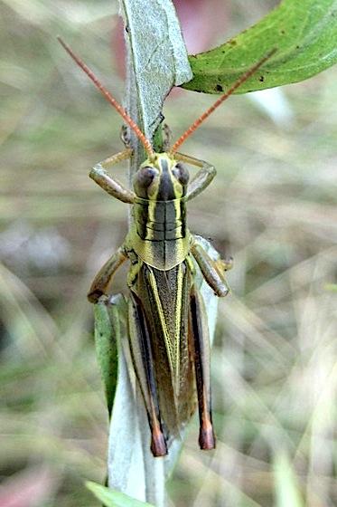 Colorful orthopteran - Melanoplus bivittatus - male