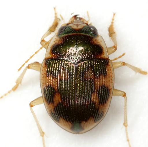 Omophron americanum Dejean - Omophron americanum