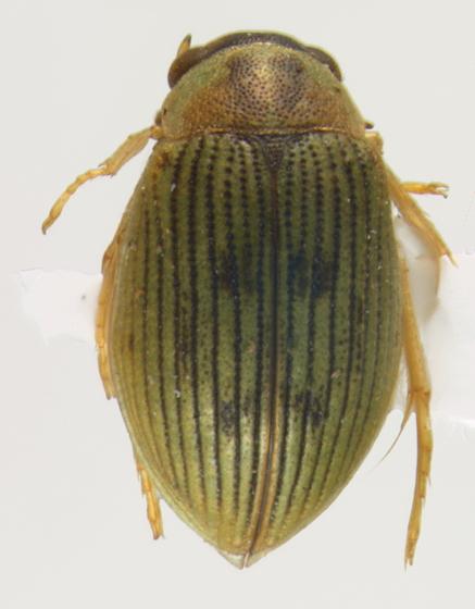 Hydrophilidae, dorsal - Berosus aculeatus