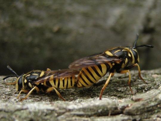 Nomada? - Sphecomyia vittata - male - female