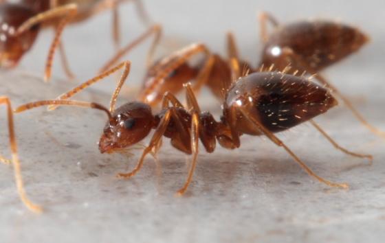 kitchen ant - Prenolepis imparis
