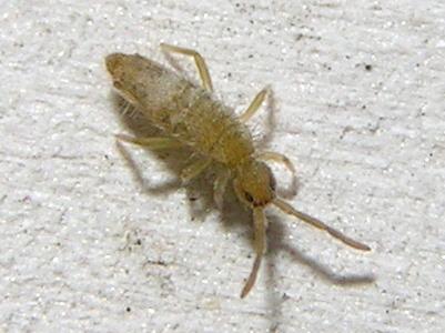 Orchesella - Entomobrya