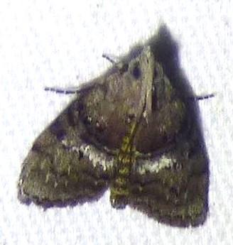Pococera expandens - Double-humped Pococera Moth - Pococera expandens