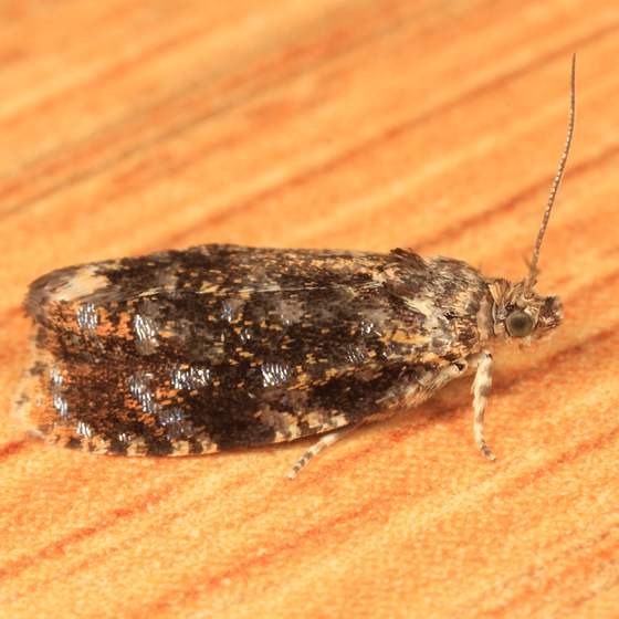 Tortricid - Olethreutes albiciliana