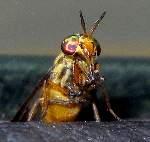 Deer Fly - Chrysops lateralis - female