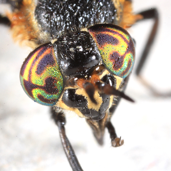 Black Deer Fly - Chrysops cincticornis - female
