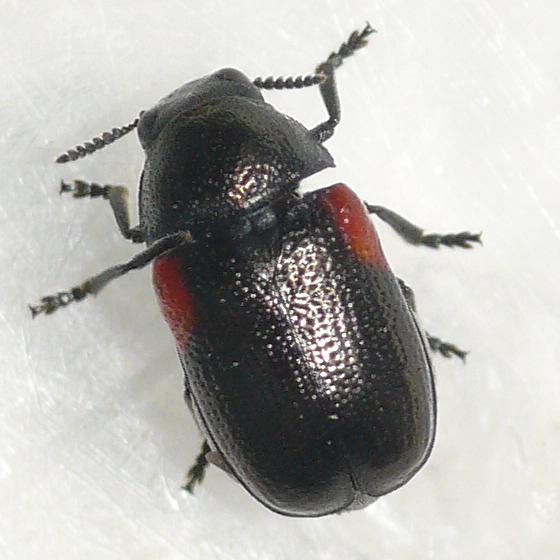 Leaf beetle 2 - Saxinis omogera