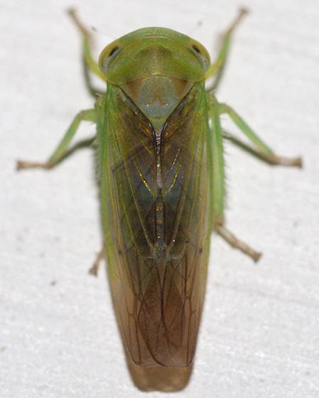 Leafhopper - Idiocerus fulgidus - male